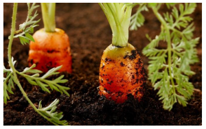 carrots with upcycled pallets compost bin